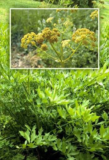 Liebstöckel-Pflanze und -Blüte