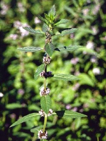 Pfefferminzpflanze