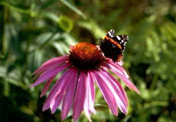 Purpursonnenhut-Blüte