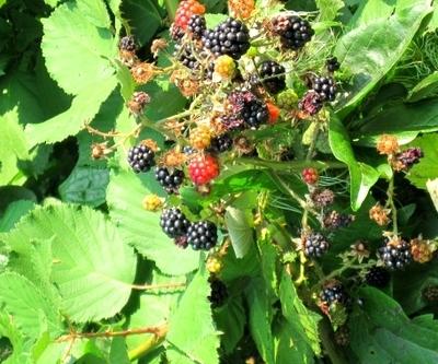 Frucht tragende Brombeerpflanze