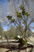 Mistel auf Wirtspflanze