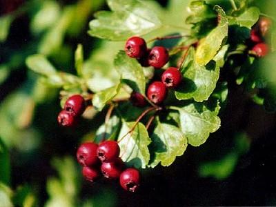 Weißdornzweig mit Früchten